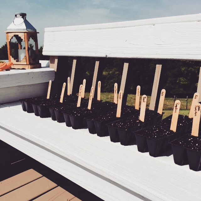 My seedlings on the deck before I moved them out of the direct sun.