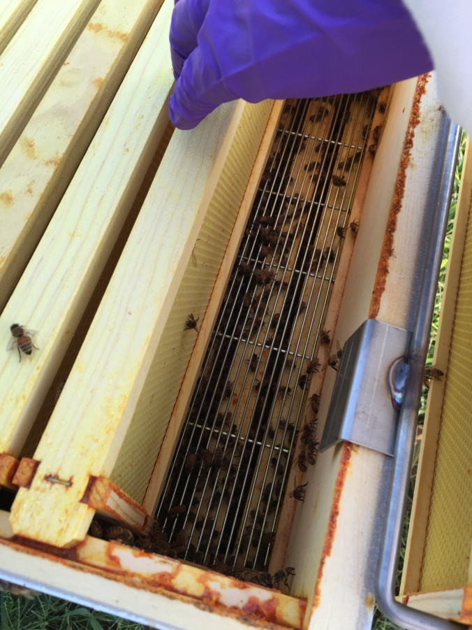 The queen is too large to fit through the excluder so the beekeeper doesn't jeopardize any brood when harvesting honey.