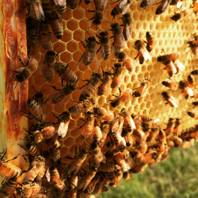 Here are the bees with uncapped honey.
