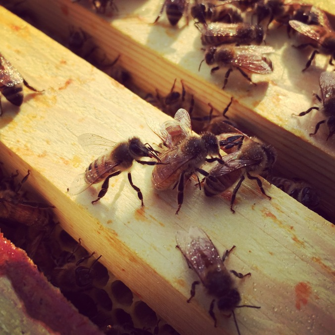 We did spray sugar water as we opened the boxes. This makes it harder for the bees to fly, but it also keeps the bees busy. Bees are very tidy and the sugar water is messy to them, so they will clean it up instead of bothering you. Here you can see them cleaning each other off.